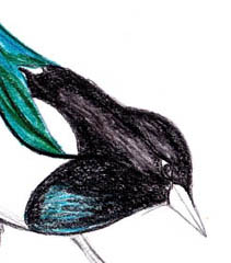 Magpie sketch - watercolor pencils