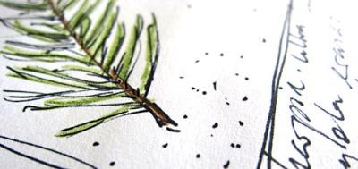 fir twig detail