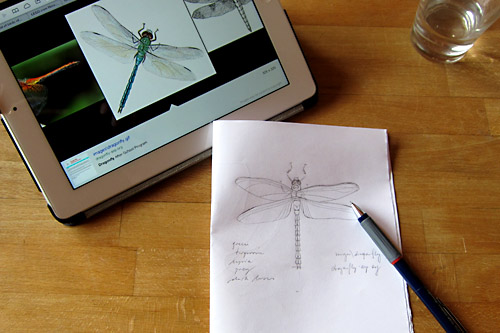 dragonfly - sketch from photograph