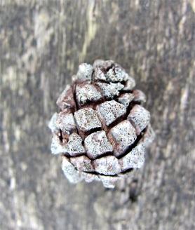 small (pine?) cone